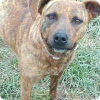 Adopt A Pet :: Rose - Russellville, KY