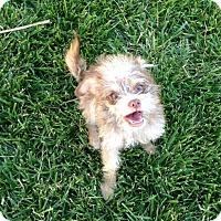 Adopt A Pet :: Lily 1 - Las Vegas, NV