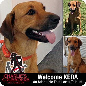 Hound (Unknown Type)/Labrador Retriever Mix Dog for adoption in Spring City, Pennsylvania - Kera