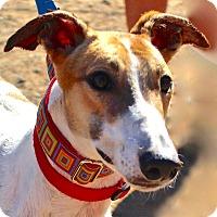 Greyhound Dog for adoption in Tucson, Arizona - Sunny