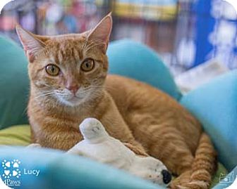 Domestic Shorthair Kitten for adoption in Merrifield, Virginia - Lucy