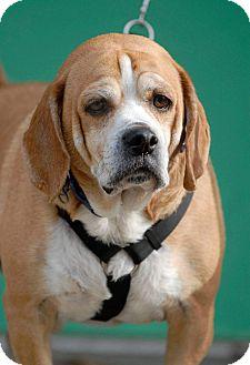 Beagle Mix Dog for adoption in Pottsville, Pennsylvania - Gordy