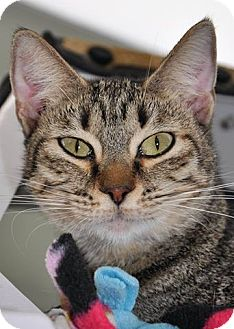 Domestic Shorthair Kitten for adoption in Georgetown, Texas - Emmy