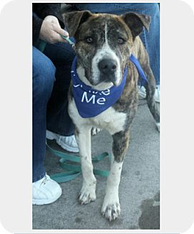 Mountain Cur Mix Dog for adoption in Manchester, Connecticut - Nash