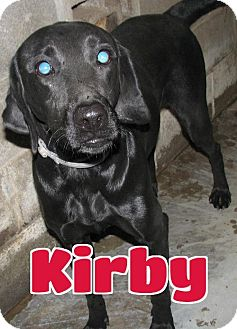 Labrador Retriever Dog for adoption in Lawrenceburg, Kentucky - #245 Kirby