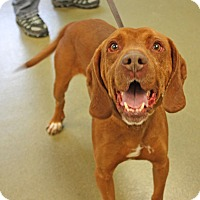 Adopt A Pet :: Prince Harry - Harrisonburg, VA