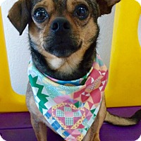 Chihuahua/Dachshund Mix Dog for adoption in Los Angeles, California - KAHLUA (video)