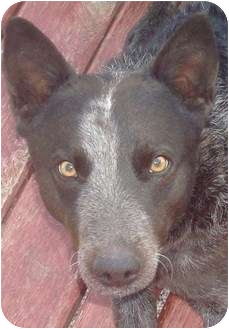Australian Cattle Dog Dog for adoption in Phoenix, Arizona - Dillon - Adoption pending