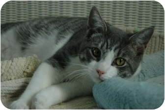 "Domestic Shorthair Kitten for adoption in Oyster Bay, New York - R2D2 ""May the Force be w/ You"""