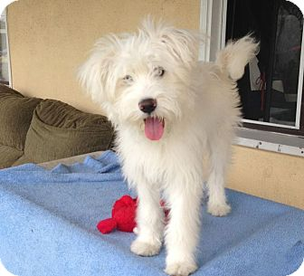 Westie, West Highland White Terrier/Poodle (Miniature) Mix Puppy for adoption in Encinitas, California - Nala
