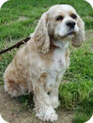 Cocker Spaniel Dog for adoption in House Springs, Missouri - Taffy