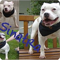 Adopt A Pet :: Sinatra - Sylvania, OH