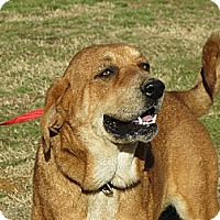 Adopt A Pet :: Abby Hound - Greenville, RI