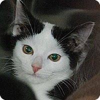 Domestic Mediumhair Cat for adoption in Morgan Hill, California - Elsie