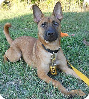 German Shepherd Malinois Mix Puppies Egypt   Adopted Dog   ...