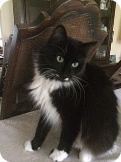 Domestic Mediumhair Cat for adoption in Garland, Texas - Sweetheart