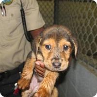 Adopt A Pet :: Noah - Rocky Mount, NC