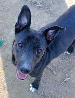 Labrador Retriever Dog for adoption in Memphis, Tennessee - Smokey