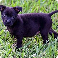 Adopt A Pet :: Bentley - Miami, FL