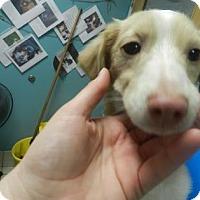 Adopt A Pet :: Al Pacino - Jersey City, NJ