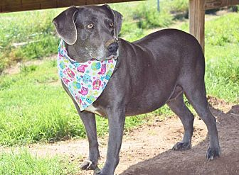 Weimaraner Mix Dog for adoption in Iola, Texas - Marnie