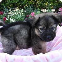 Adopt A Pet :: PRIMROSE - Newport Beach, CA