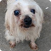 Adopt A Pet :: Cottonball - Hopkinsville, KY