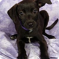 Adopt A Pet :: Karlie Beagle MinPin - St. Louis, MO