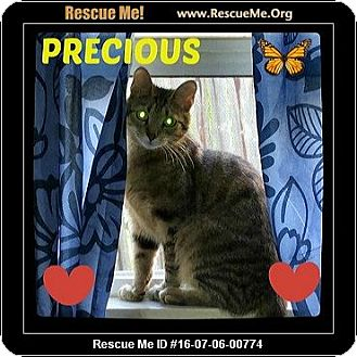 Domestic Shorthair Cat for adoption in Highland, Michigan - Precious