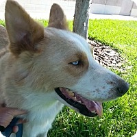 Adopt A Pet :: Bjorn - Clearwater, FL