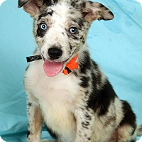 Adopt A Pet :: Naomi BC - St. Louis, MO