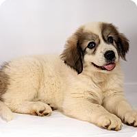 Adopt A Pet :: Vinnie Pyr - St. Louis, MO