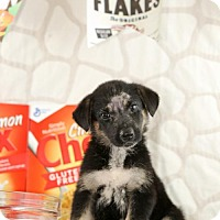 Adopt A Pet :: Chex - Glastonbury, CT