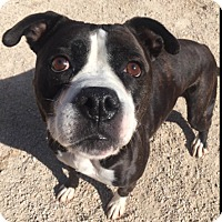 Pit Bull Terrier/Boxer Mix Dog for adoption in Winnipeg, Manitoba - Bryn