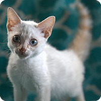 Adopt A Pet :: Tabasco - Spring Valley, NY