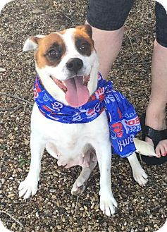 Beagle Mix Dog for adoption in Dallas, Texas - Frankie II