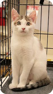 Domestic Shorthair Kitten for adoption in Sacramento, California - Wilma