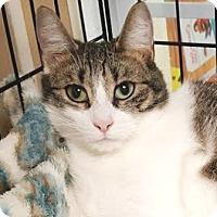 Domestic Shorthair Cat for adoption in Walworth, New York - Leia