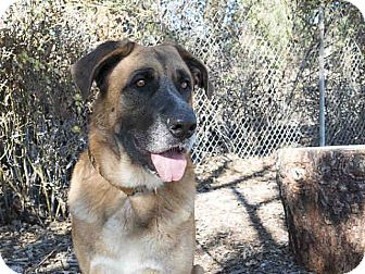 Bullmastiff/Anatolian Shepherd Mix Dog for adoption in Beverly Hills, California - A5010442 is at Agoura