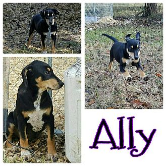 Feist Mix Puppy for adoption in Bath, Maine - Ally