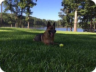 German Shepherd Dog Dog for adoption in Morrisville, North Carolina - Razor