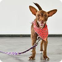 Adopt A Pet :: Piper - Victoria, BC