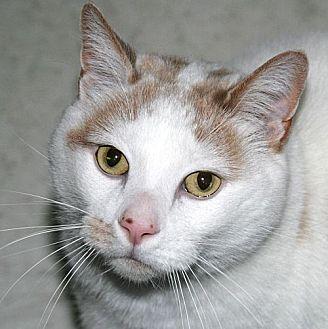 Domestic Shorthair Cat for adoption in Port Angeles, Washington - Leo