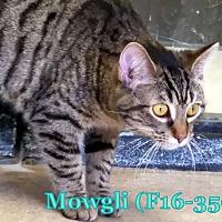Adopt A Pet :: Mowgli - Tiffin, OH