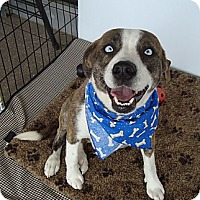 Adopt A Pet :: Blue - Tallahassee, FL