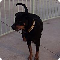 Adopt A Pet :: Sarafina - Gilbert, AZ