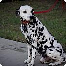 Adopt A Pet :: Buddy-Guy