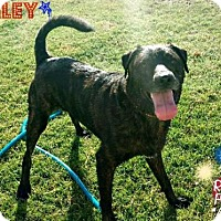 Adopt A Pet :: Bailey - Maricopa, AZ