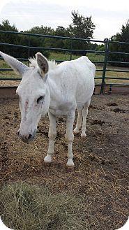Donkey/Mule/Burro/Hinny Mix for adoption in Farmersville, Texas - Blanco