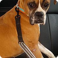 Adopt A Pet :: Beau - Brentwood, TN